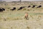 Ngorongoro Wildebeests Lion.jpg